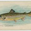 Atlantic salmon.