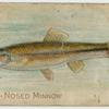 Blunt-nosed minnow.
