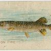 Common pike.
