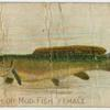 Dog fish or mud fish, female.