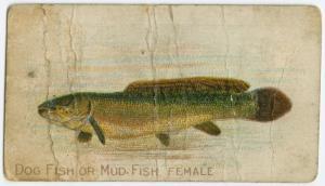 Dog fish or mud fish, female.