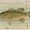Large mouthed black bass.