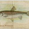 Red-nosed minnow.