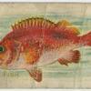 Rose fish.
