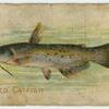 Spotted catfish.