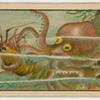 Tako (Octopus).