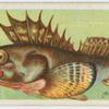 Armed-gurnard (Centropogon robustus).