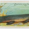 The barramunda (Ceratodus).