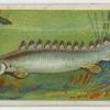 Bichir (Polypterus bichir).