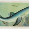 Blue shark (Carcharias glaucus).