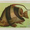 Coral fish (Heniochus macrole pidotus).