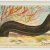 Electric eel (Gymnotus electricus).