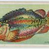 Lump fish (Cyclopterus lumpus).