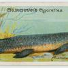 The barramunda (Ceratodus).