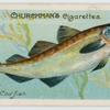 Cod-fish (Gadus morrhua).