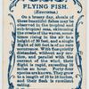 Flying fish (Exocœtus).