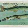 Gar-fish (Belone).