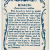 Roach (Leuciscus rutilus).