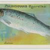 Salmon (Salmo salar).