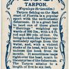 Tarpon (Megalops thrissoides).