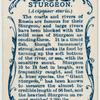 Sturgeon (Acipenser sturio).