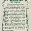 Blenny (Blennius gattorugine).