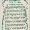 Grayling (Thymallus vulgaris).