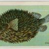 Globe-fish (Diodon maculatus).