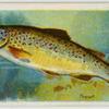 Trout (Salmo fario).