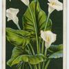 Arum lily or richardia.