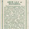 Arum lily or richardia.