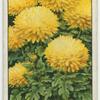 Dwarf chrysanthemum.