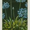 Agapanthus or African lily.