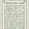 Variegated aloe.
