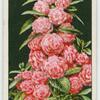 Camellia-flowered balsam.