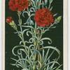 Perpetual-flowering carnation.