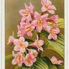 Diervilla (Diervilla florida).