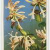 Honeysuckle (Lonicera Periclymenum).