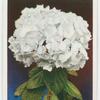 Hydrangea (Hydrangea hortensis).