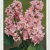 Lilac (Syringa vulgaris macrostachya).