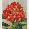 Rhododendron (Bagshot ruby).