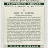 Rose of sharon (Hypericum calycinum).