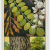 Acacia, or locust tree (Robinia pseudacacia).