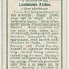 Common alder (Alnus glutinosa).