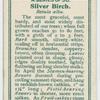 Silver birch (Betula alba).