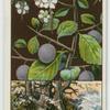 Blackthorn, or sloe (Prunus communis; subspecies Prunus spinnosa).