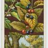 Alder buckthorn, or berry-bearing alder (Rhamnus frangula).