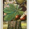 Horse chestnut (Æsculus Hippocastanum).