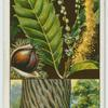 Sweet or Spanish chestnut (Castanea sativa).