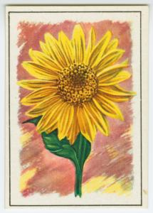 Sunflower (Helianthus).